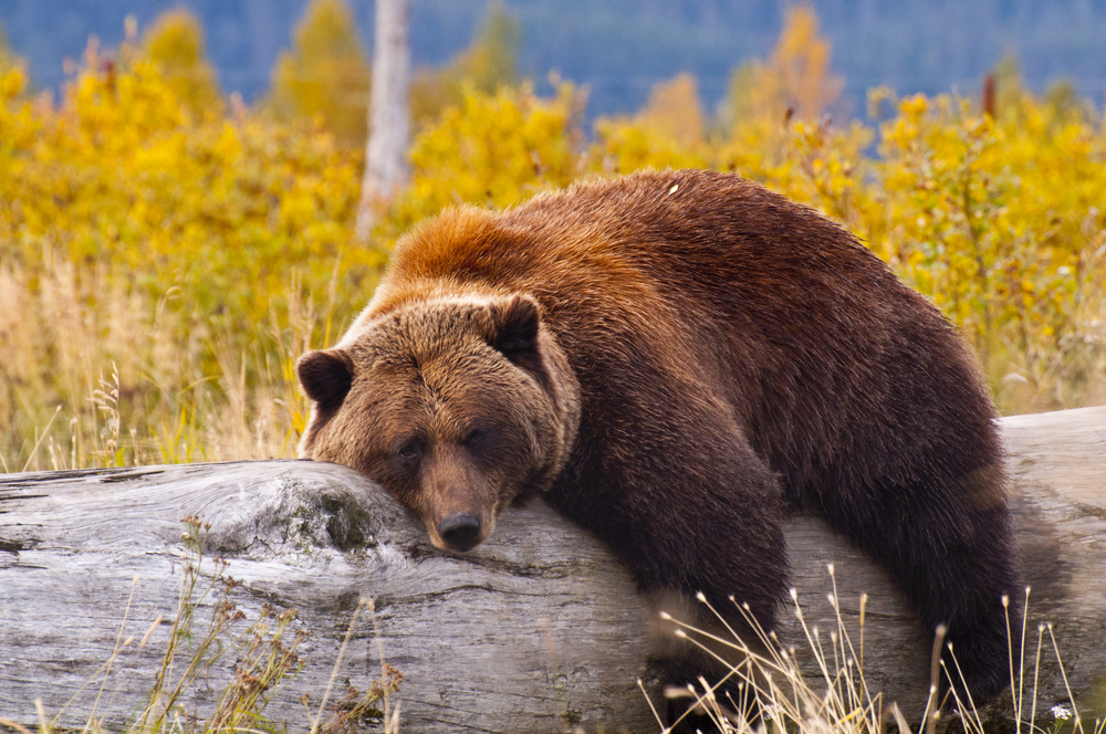 Brown Bear on a Log